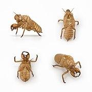 Cicada exuvia.jpg