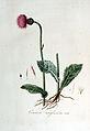 Cirsium anglicum — Flora Batava — Volume v6.jpg
