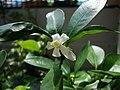 Citrus japonica (5).JPG
