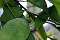 Citrus sinensis Navel 1zz.jpg