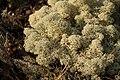 Cladonia rangiferina 2008-002.jpg