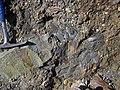 Clasts of siliciclastic sedimentary rock in quartz-pebble conglomerate (Sharon Conglomerate, Lower Pennsylvanian; Jackson North roadcut, Ohio, USA) 8 (37034531854).jpg