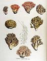 Clavaria formosa — Flora Batava — Volume v17.jpg