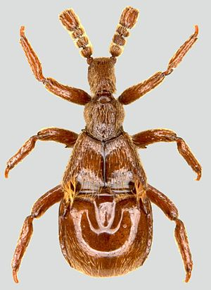 Myrmecophily in Staphylinidae - Myrmecophilous Staphylinid Claviger testaceus.