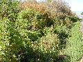 Clematis ligusticifolia (5062279069).jpg