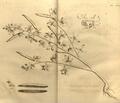 Cleome viscosa-Hortus Malabaricus-V9-T23.png