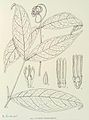 Clitandra membranacea-1906.jpg