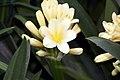 Clivia miniata 17zz.jpg