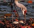 Close up of a Sandhill Crane (Grus canadensis) tending eggs - Flickr - Andrea Westmoreland.jpg