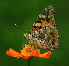 Close wing position of Vanessa cardui, Linnaeus, 1758 – Painted Lady WLB.jpg