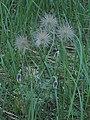Coн-трава у Біличанському лісі. Плоди і бутони.jpg