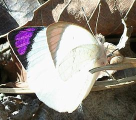 Coast Purple Tip male topside 12 08 2010.JPG