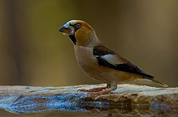 Coccothraustes coccothraustes -Andalusia -Spain-8.jpg