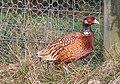 Cock Pheasant - geograph.org.uk - 282817.jpg