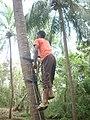 Coconut tree climbing DSCN0222.jpg
