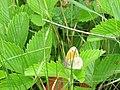 Coenonympha pamphilus, Sićevačka klisura.jpg