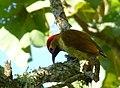 Colaptes rubiginosus (Carpintero cariblanco) - Flickr - Alejandro Bayer (3).jpg