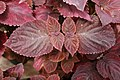 Coleus Giant Exhibition Palisandra Black 3zz.jpg