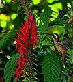 Colibri Barinas.jpg