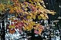 Colored Maple leaves - Flickr - odako1.jpg