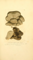 Coloured Figures of English Fungi or Mushrooms - t. 99.png