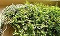 Combretum indicum - Orto botanico - Rome, Italy - DSC09909.jpg