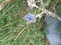 Common Blue (Polyommatus icarus) (7580736214).jpg