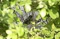 Common Cuckoo from Mordham Dam Nagpur JEG3652.jpg