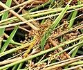 Common Darter. Immature male. Sympetrum striolatum (39547619792).jpg