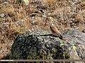 Common Kestrel (Falco tinnunculus) (48051313753).jpg