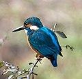 Common Kingfisher (17036472386).jpg