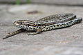 Common Lizard (5984923847).jpg