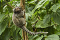 Common Marmoset - REGUA - Brazil MG 9443 (12930870165) (2).jpg