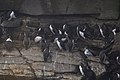Common Murres (Uria aalge) - Cape St. Mary's Ecological Reserve, Newfoundland 2019-08-10 (01).jpg
