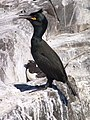 Common Shag - geograph.org.uk - 772381.jpg