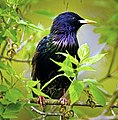 Common Starling on a branch (17274372721).jpg