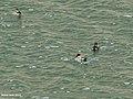 Common Teal (Anas crecca) (34098915595).jpg