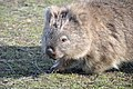 Common wombat 4.jpg