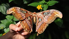 ComputerHotline - Lepidoptera sp. (by) (30).jpg