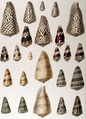 Cone shells by Chenu.png