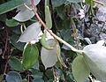 Conservatoire du bégonia 2015. Begonia molleri - 04.jpg