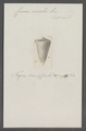 Conus concolor - - Print - Iconographia Zoologica - Special Collections University of Amsterdam - UBAINV0274 086 08 0008.tif