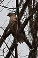Cooper's Hawk (Accipiter cooperii) - Kitchener, Ontario 02.jpg