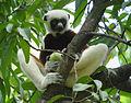 Coquerel's Sifaka, Ankarafantsika, Madagascar (4027569042).jpg
