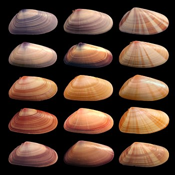 English: Various coquina shells. Individuals i...