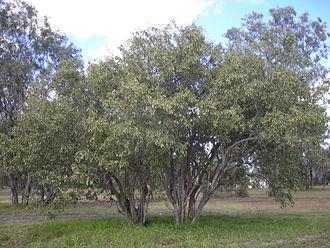 Cordia - Image: Cordia sinensis trees