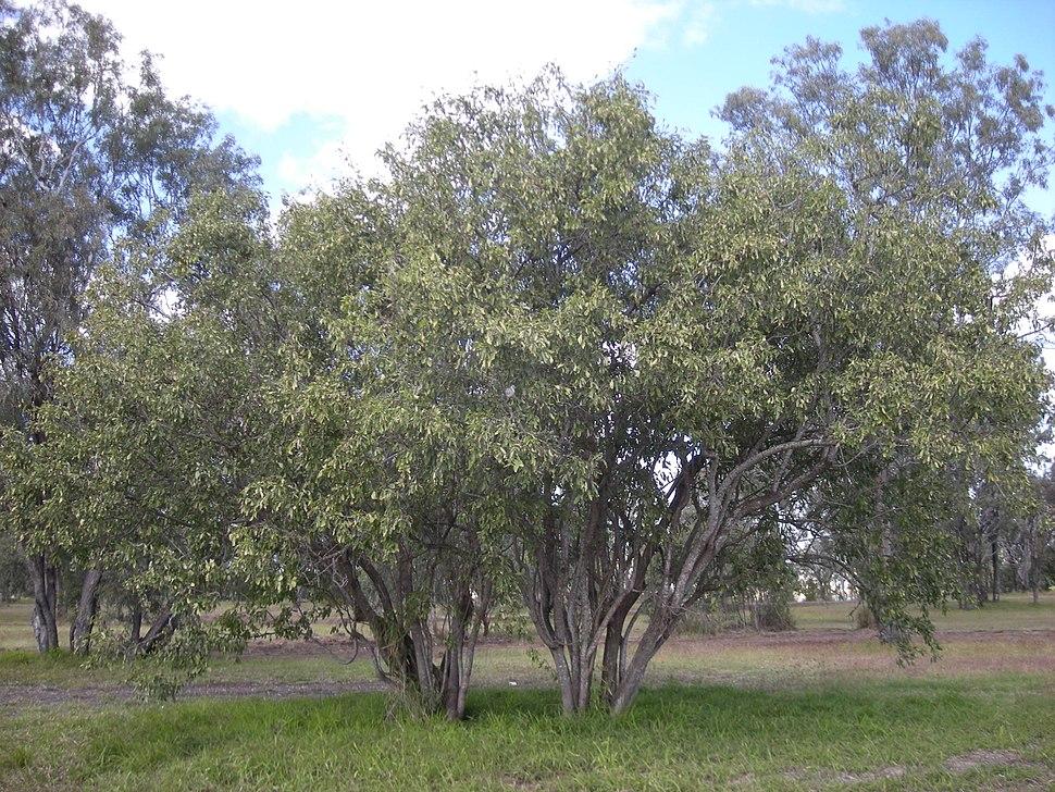Cordia sinensis trees
