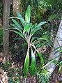Cordyline cannifolia Dee Why.jpg