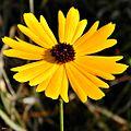 Coreopsis floridana (Florida tickseed) (8240005185).jpg