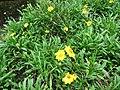 Coreopsis lanceolata 03.jpg